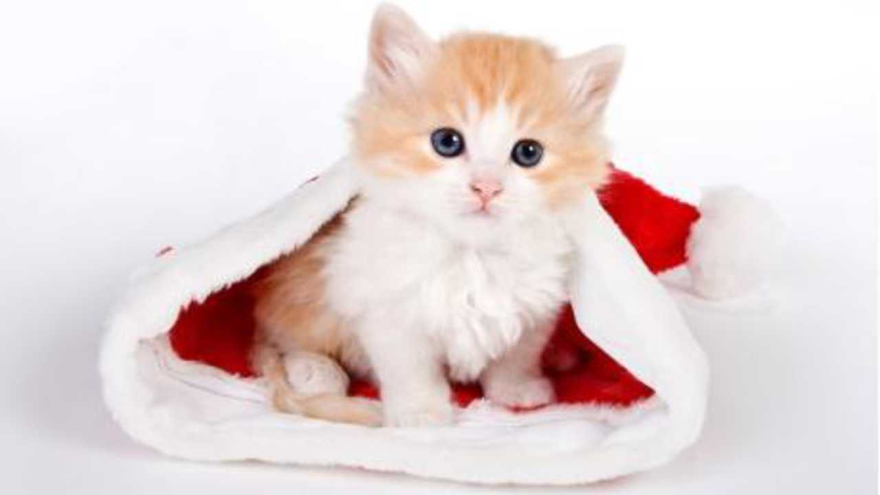 Image result for cats wearing santa hats